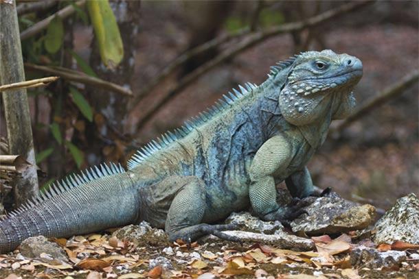 Blue Iguana, John Binns